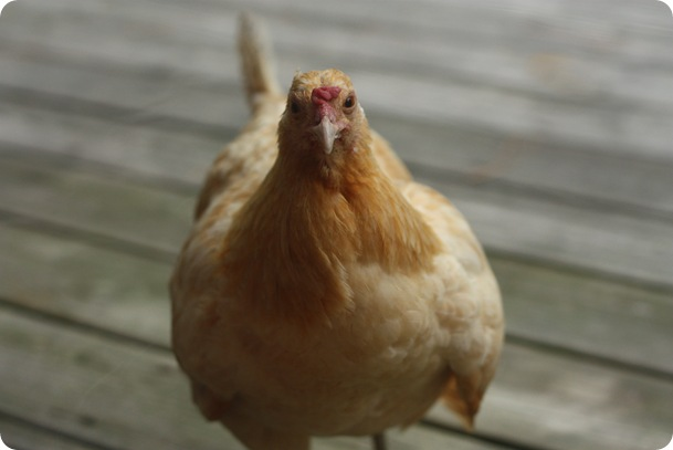 Photograph d'une poule